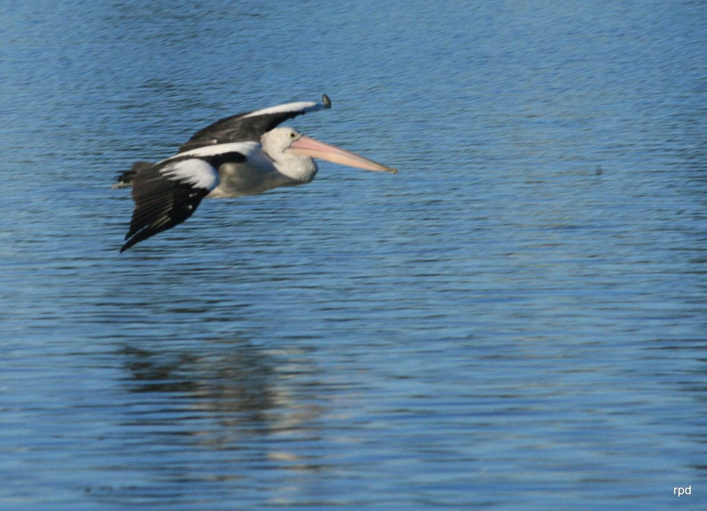 Tuggerah Lake pelican after take off