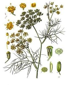fennel, one of the three herbs used in the production of absinthe