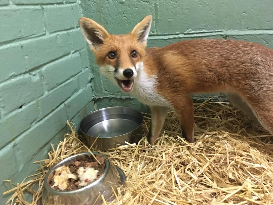 one-of-wras-released-foxes-this-week