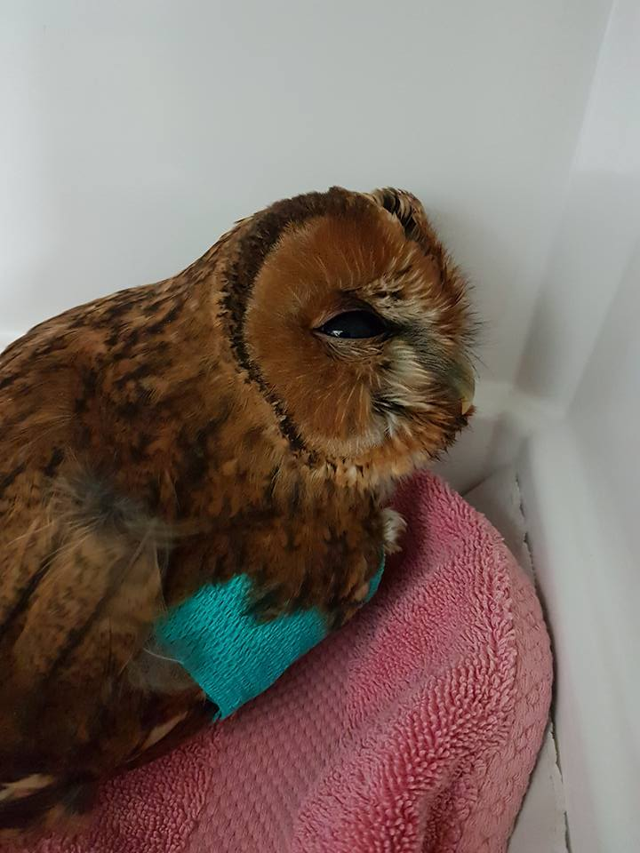 blackboys-tawny-owl-with-a-bandage-on-his-wing