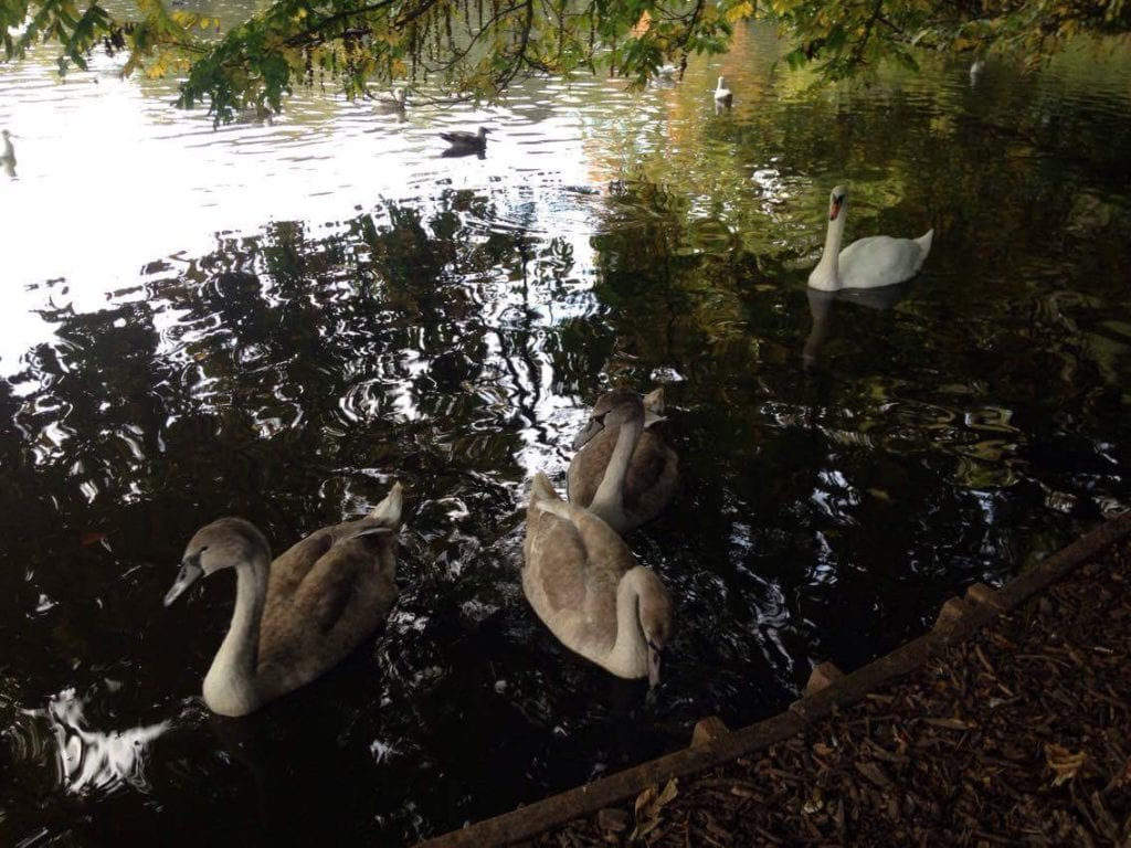 cygnets-at-hampden-park