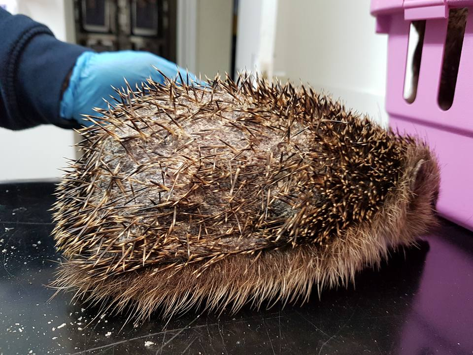 hedgehog-from-ditchling-with-ringworm