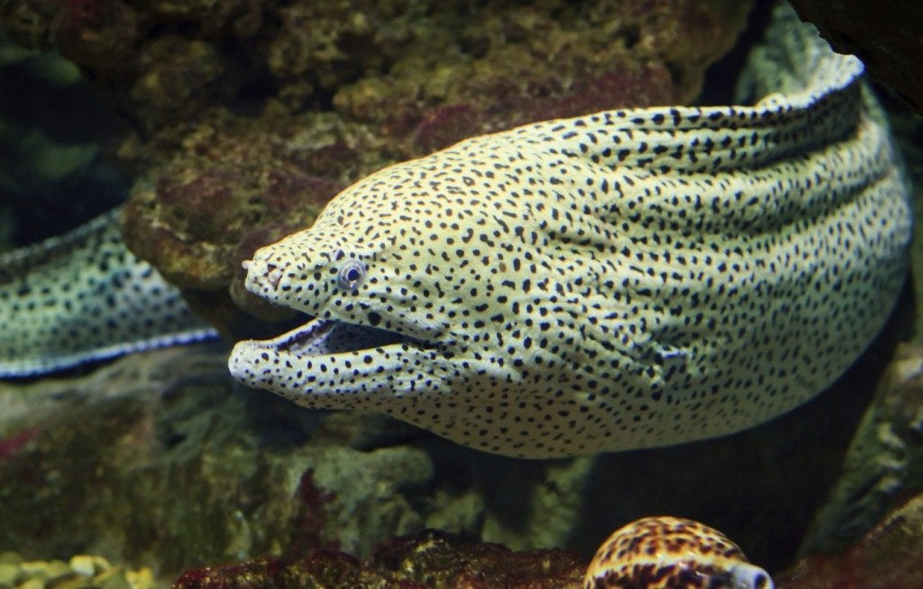 the-dreaded-moray-eel-one-of-the-hazards-with-sharp-biting-posionous-fangs