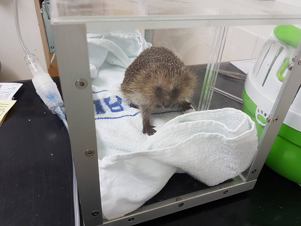 poorly-hedgehog-from-uckfield-in-our-nebuliser
