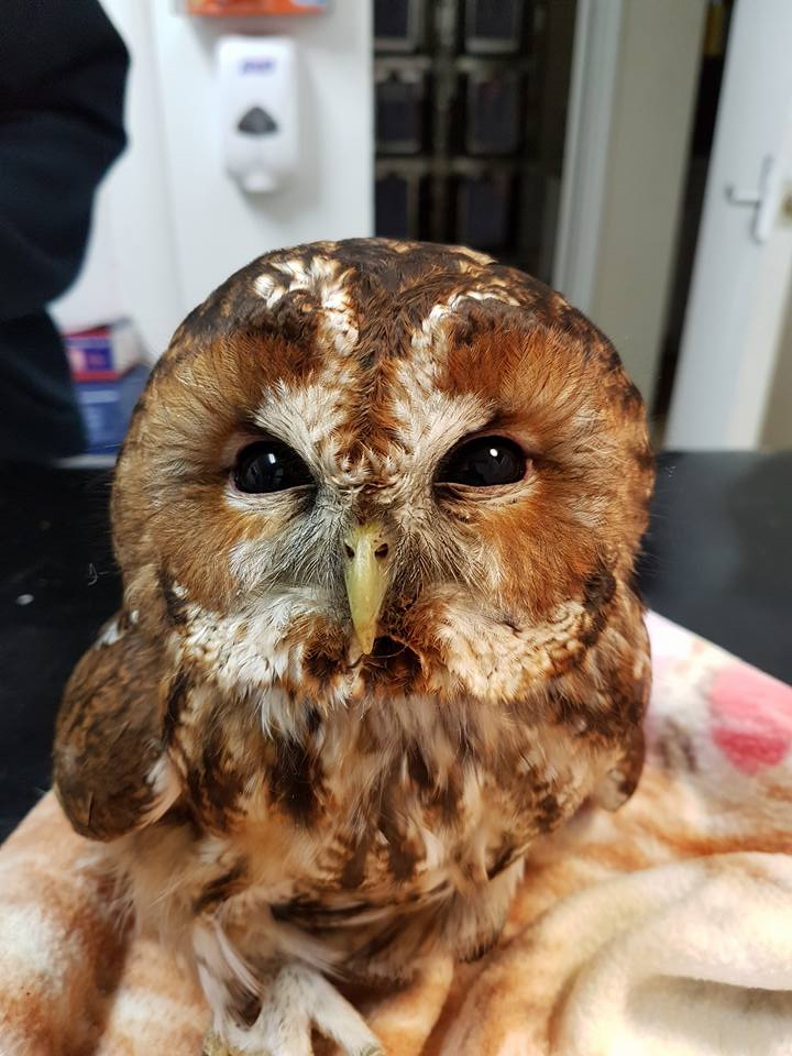 tawny-owl-from-bexhill