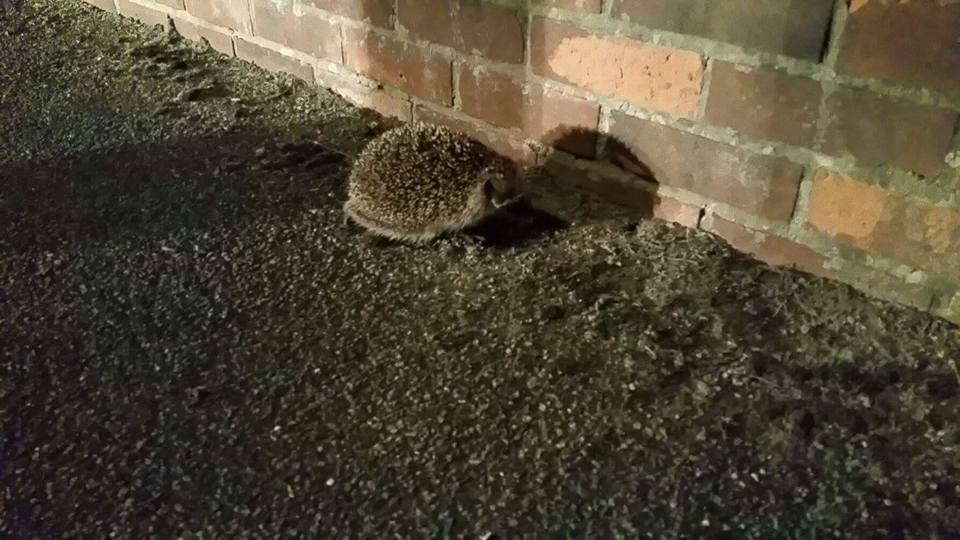A-hedgehog-found-whilst-Chris-is-out-walking