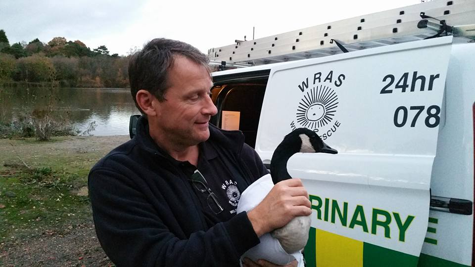 Rescuer-Iain-Turner-with-an-injured-Goose-at-Piltdown