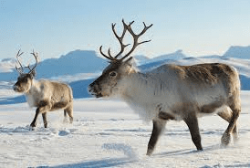 reindeers-in-the-wild
