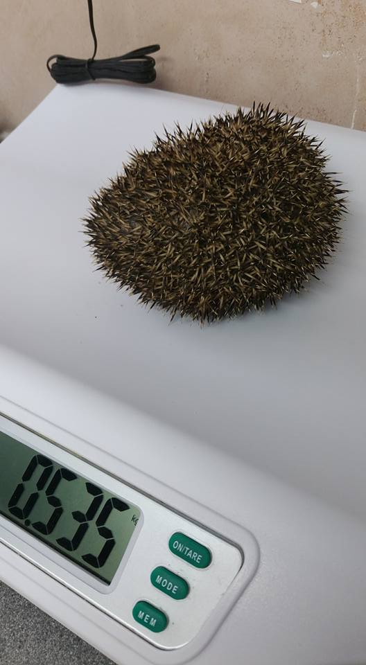 Hedgehog from Glynde