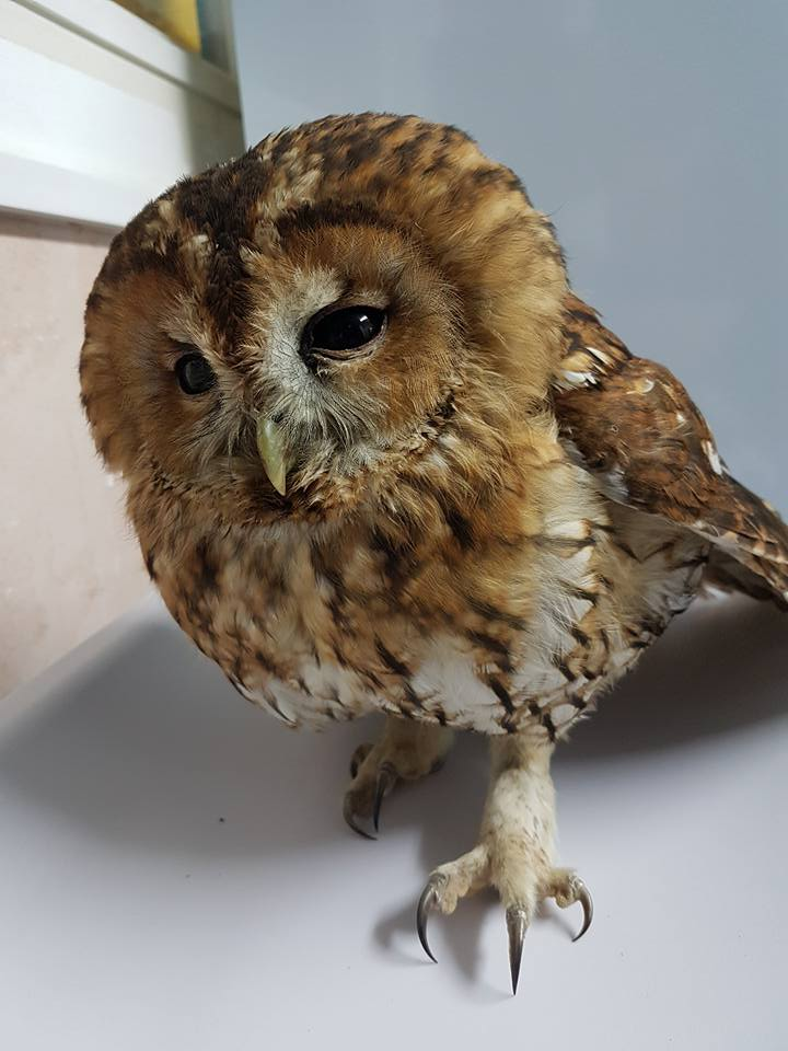 Tawny Owl from Rye