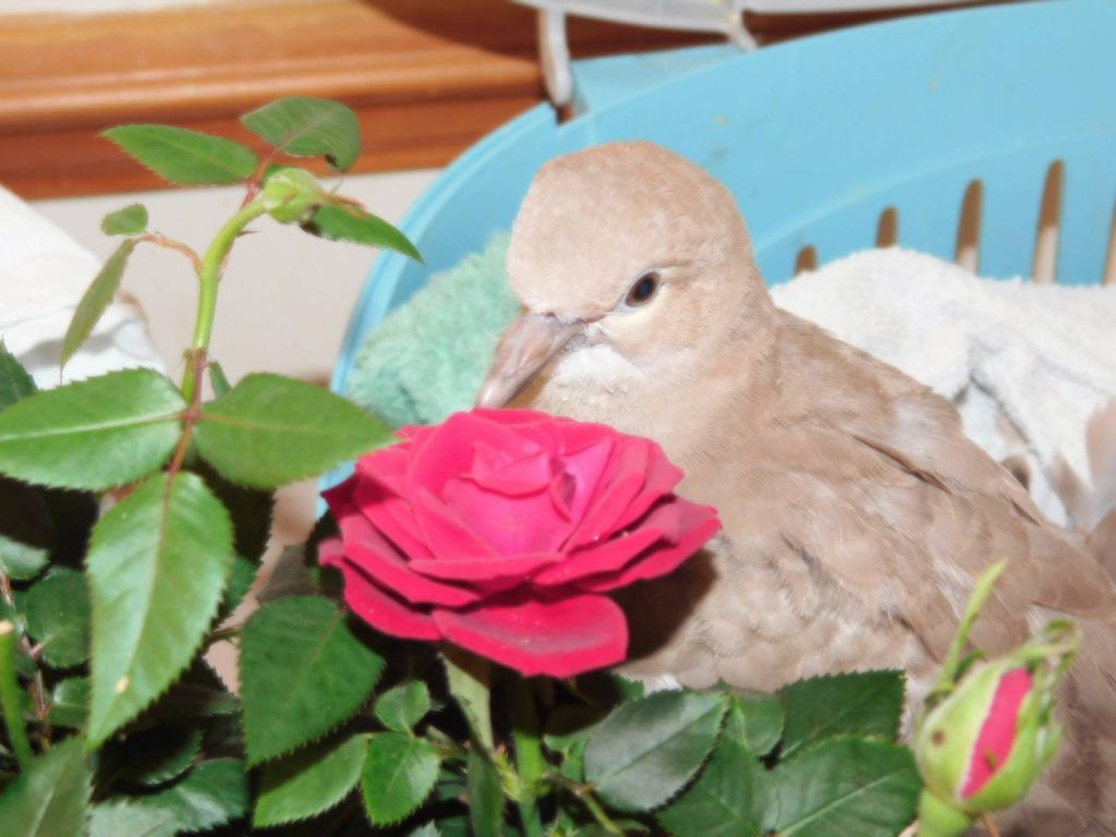 Latest Young Dove now in care