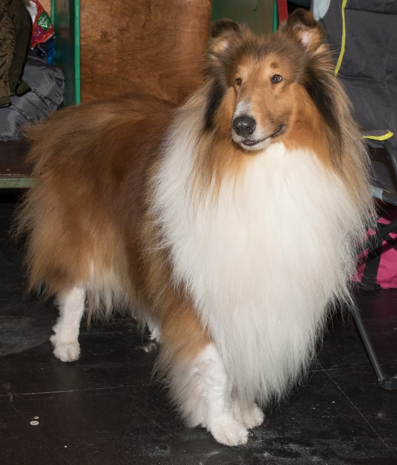 Rough collie Solo