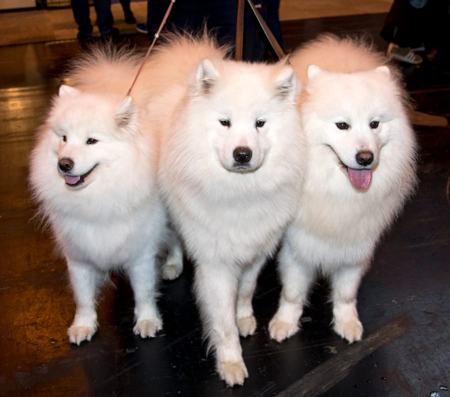 Samoyeds Tia, Kruze and Kodi