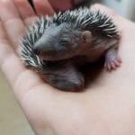Two baby hedgehogs from Hampden Park