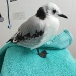 Young Kittiwake from Seaford 1