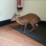 Eastbourne Coffee Rebublic Muntjac Deer courtesy of tracy honey pcso 18th sept 17