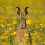 Pic 1 A brown hare. Photo by David Tipling 2020 Vision