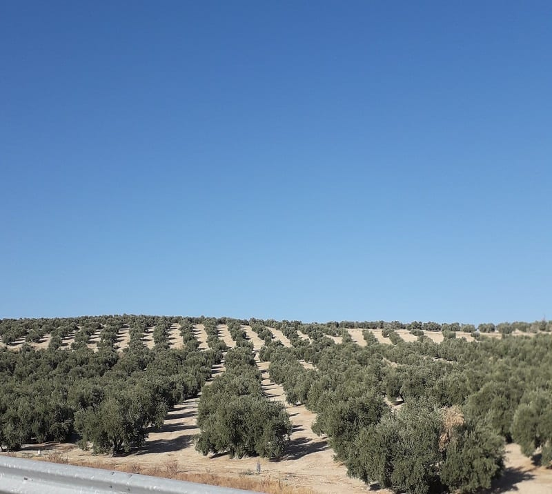 Olive Trees and Baked Earth