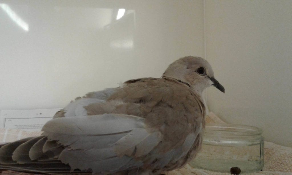 Dove recovered from a tick bite