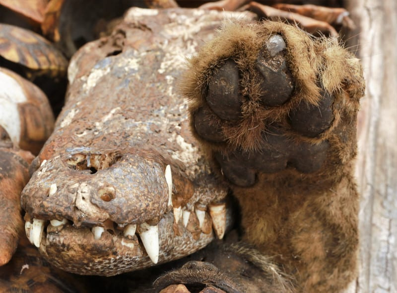 Lions foot next to a crocodile head