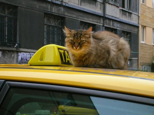 Cat on Taxi