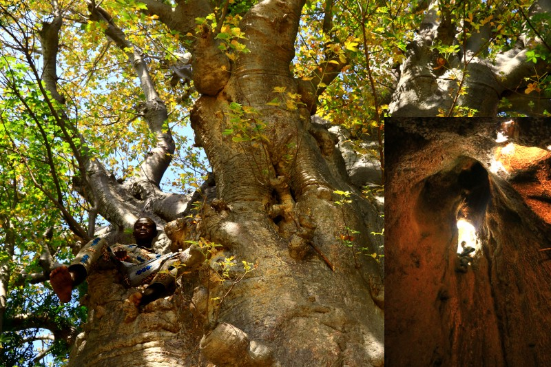 Resting in the high branches of a sacred baobab tree