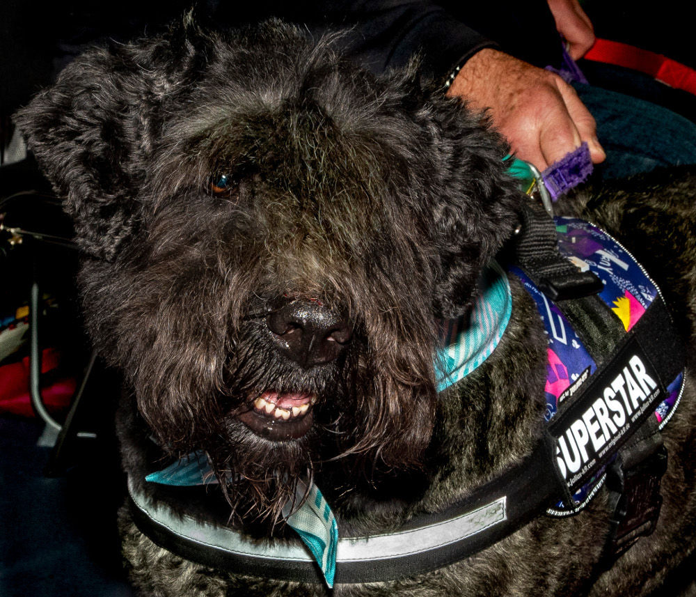 Pic Rescue dog Nancy a Bouview des Flanders at last years show
