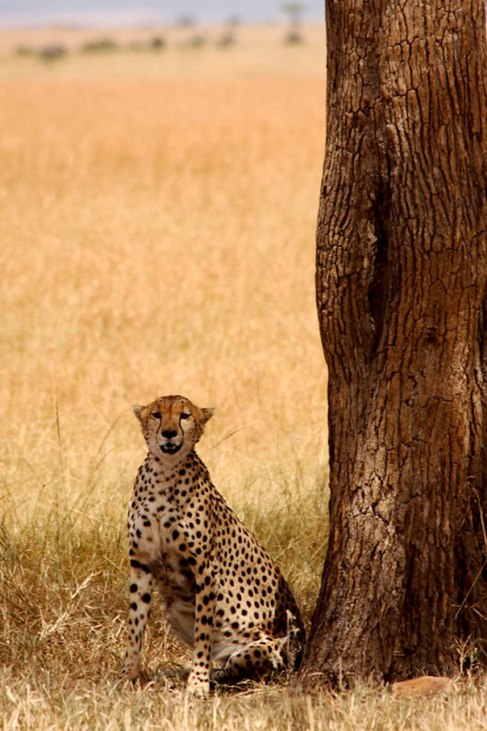 Cheetah shaded under a tree in the Masai Mara Kenya