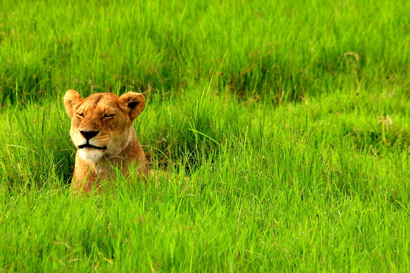 Lioness in deep grass Ngorongo Crater Serengeti Tanzania