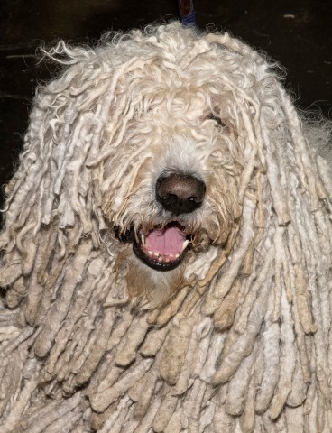 Pic Discover so many different breeds at Crufts such as the Komondor