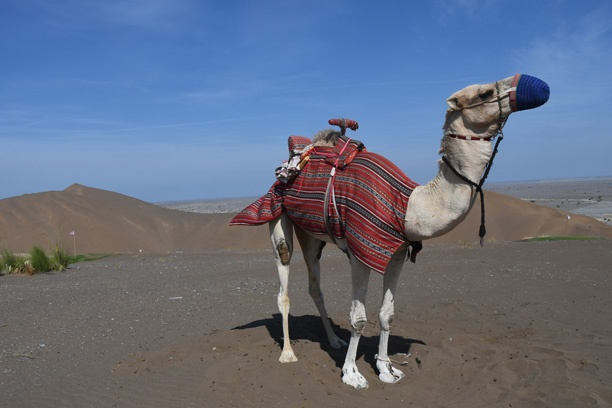 Camel ready for a gentle stroll in the dunes