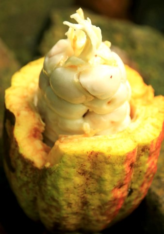 Inside of a freshly picked cocoa pod Copy
