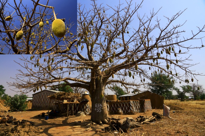 Large baobab tree outside a painted compound