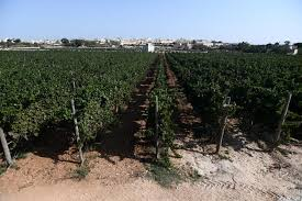 MalDia Modern grape vines plantation