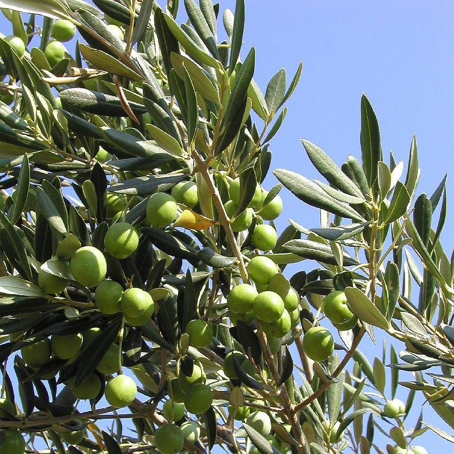 MalDia Olives glorious olives