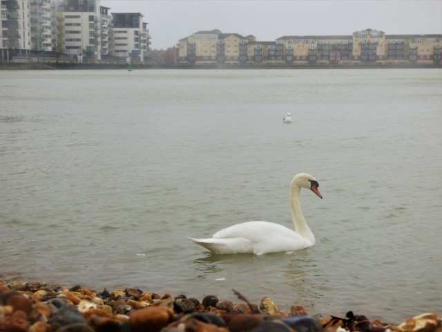 Sovereign Harbour Swan s
