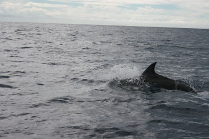 The Azores offer outstanding Dolphin and Whale watching