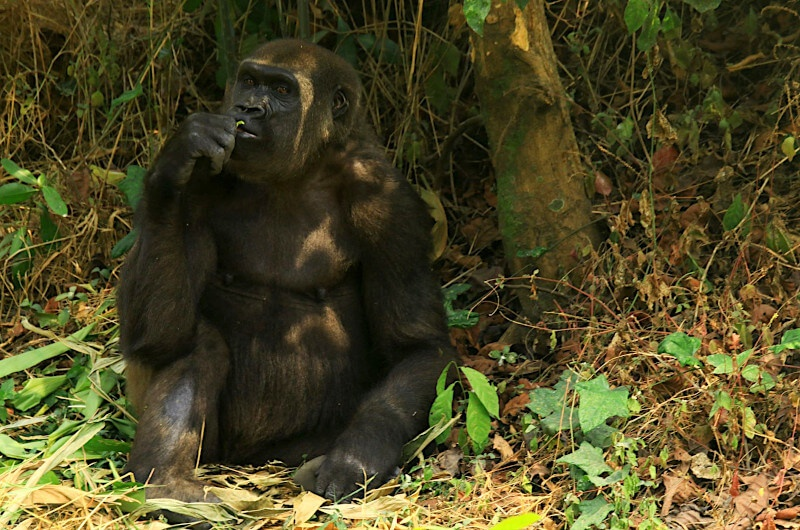 Female gorilla thats part of a family of ten