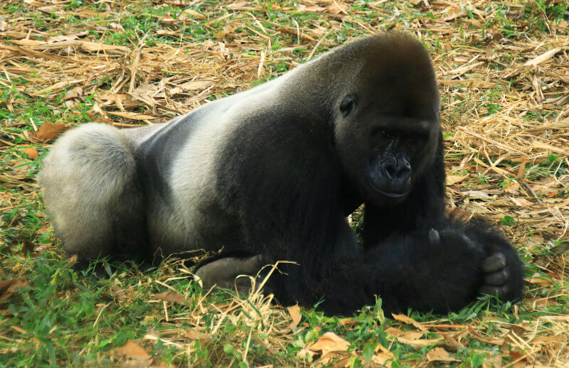 Chella the silverback of the group