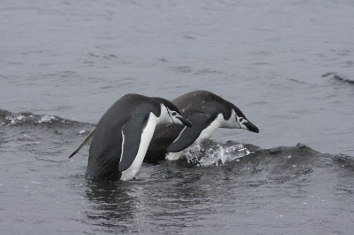 Chinstrap penguinss about to enter water
