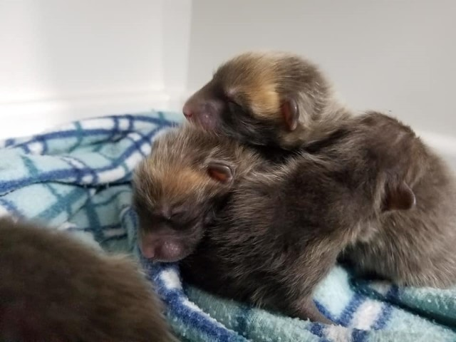 Fox cubs rescued from derelict Garage in Eastbourne th March