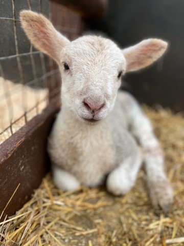 Pic Baby lamb at Hatton