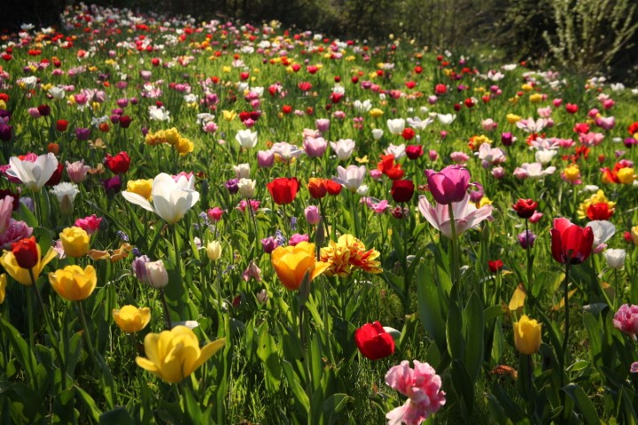 Pic Tulip Meadow at Dunsborough Park Ripley Surrey Credit NGS