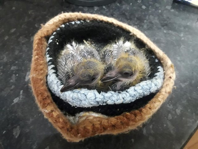 Two baby pigeon being reared by kathy