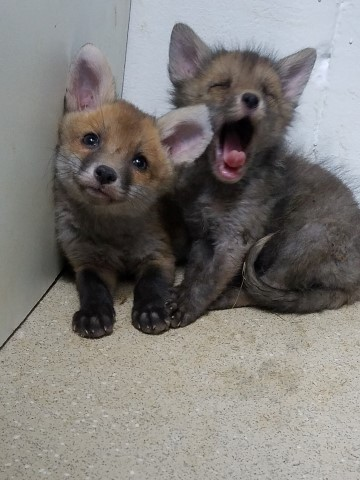 Two of WRASs Fox Cubs