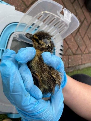 Chimney Duckling Rescue Uckfield th May
