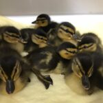 One of the groups of ducklings rescued by WRAS
