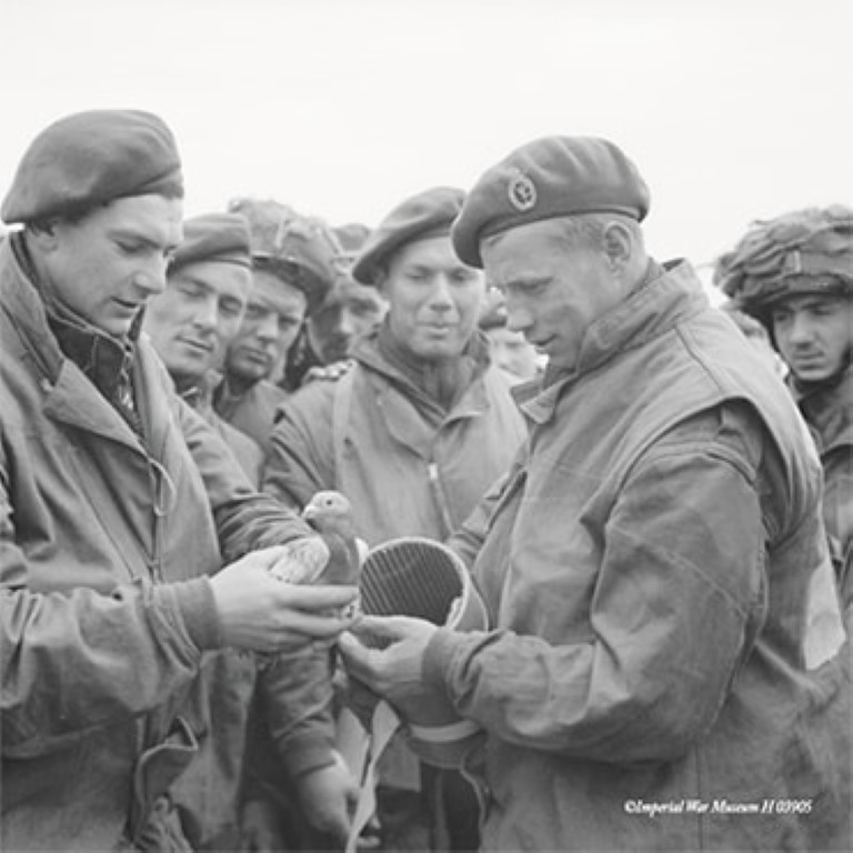 Pic Brave WWII pigeon Duke of Normandy