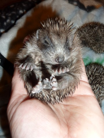 Young Hedgehog in hand