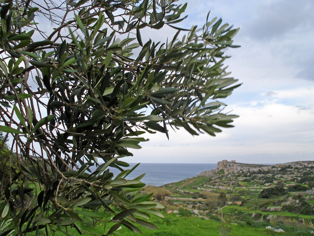 MalDia Is Malta ideal for growing olives Copy